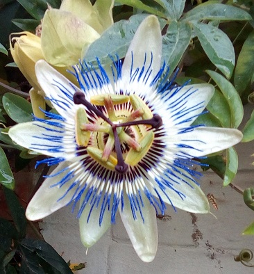 passionflower.real.jpg